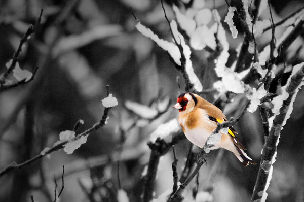 Goldfinch in snow