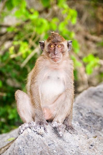 A cheeky Macaque