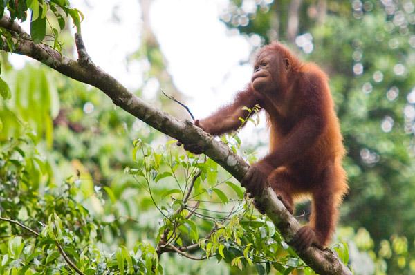 Orangutan, Sepilok