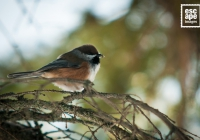 Boreal Chickadee, Banff National Park