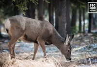Female Mule Deer, Banff