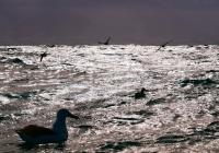 11042109-royal-albatross