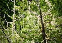 Bald Eagle and pine trees, Tofino