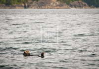Sea Otter, Hot Springs Cove, Tofino
