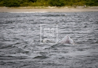 Grey Whale surfacing, Tofino