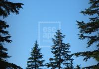 Big tree, little tree, Dog Mountain