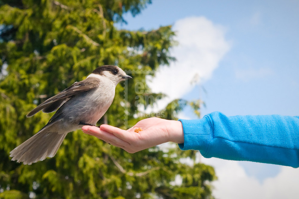 Anne Marie feeding a Grey Jay