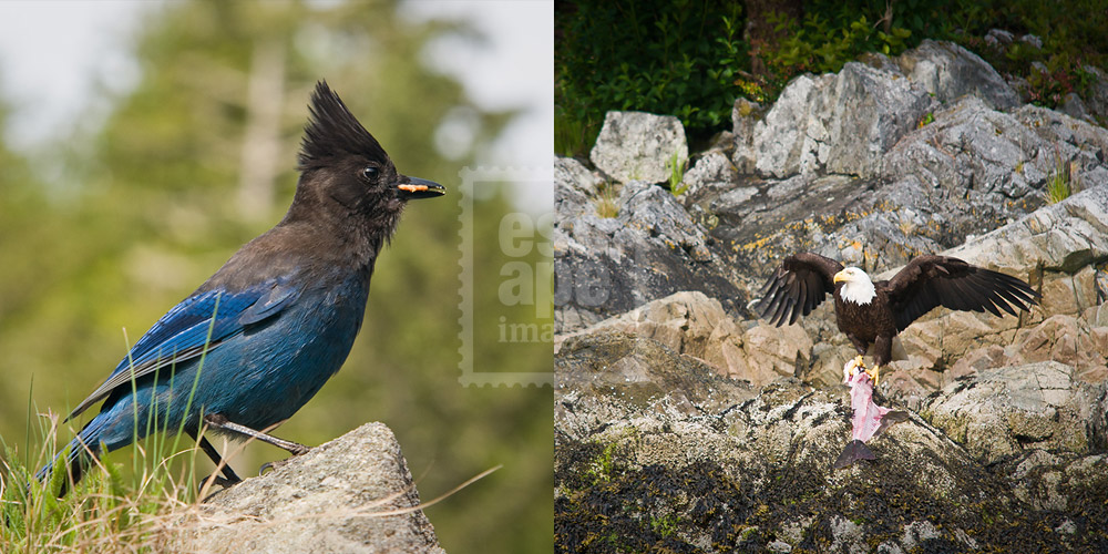 Steller's Jay and Bald Eagle