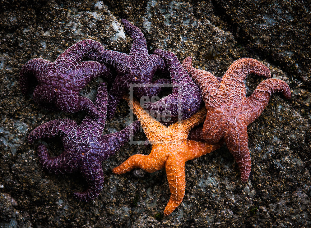 Starfish cling to rocks at low tide, Tofino