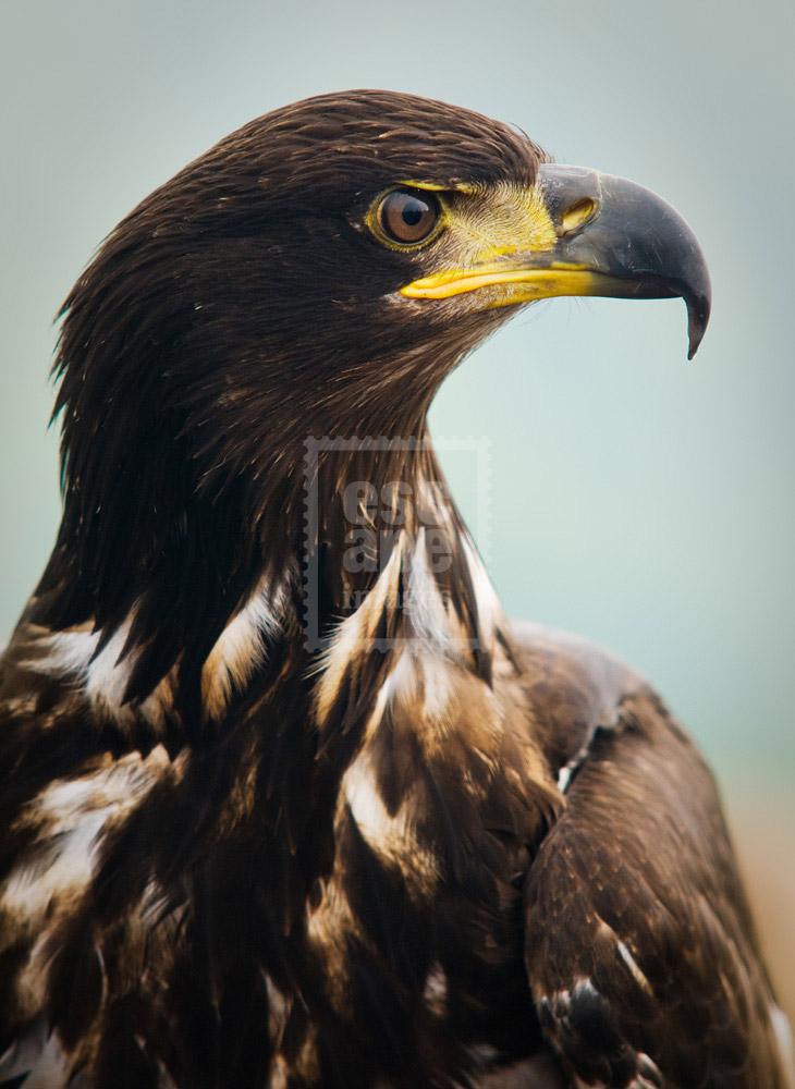 Immature Bald Eagle at Grouse Mountain
