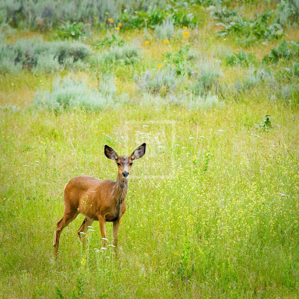 White-tailed Deer, Okanagan Valley